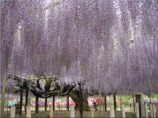 image:Wisteria at Ashikaga Flower Park